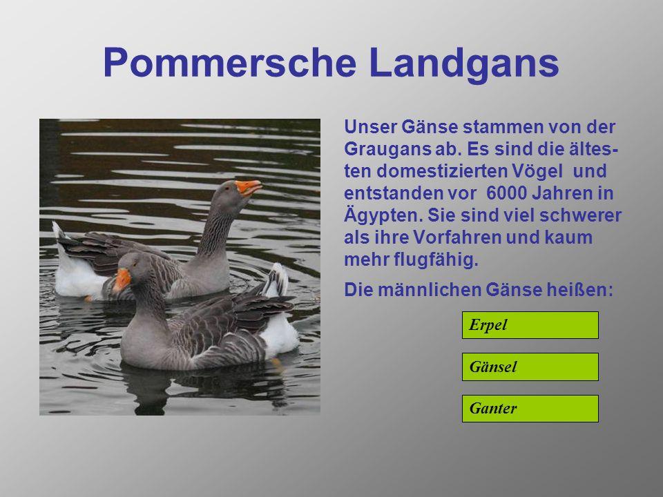 Pommersche Landgans Unser Gänse stammen von der