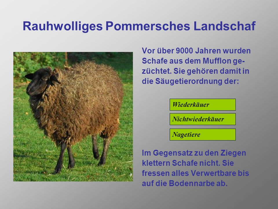 Rauhwolliges Pommersches Landschaf