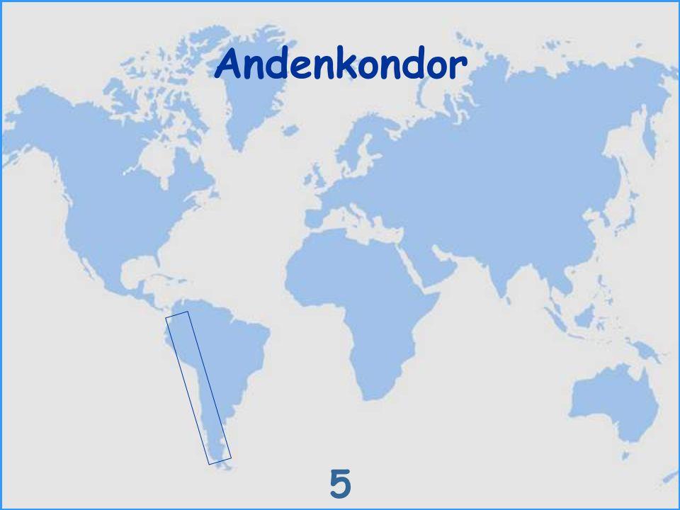 Andenkondor 5