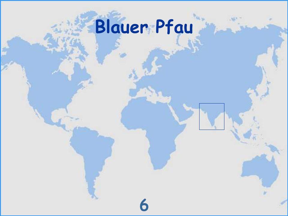 Blauer Pfau 6