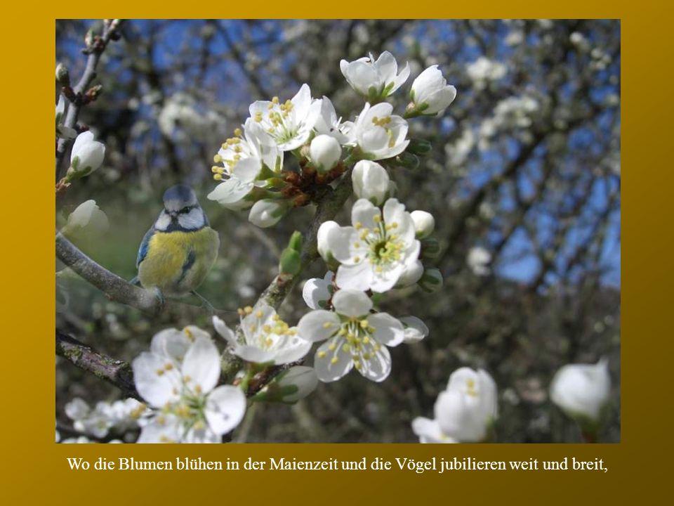 , Wo die Blumen blühen in der Maienzeit und die Vögel jubilieren weit und breit,