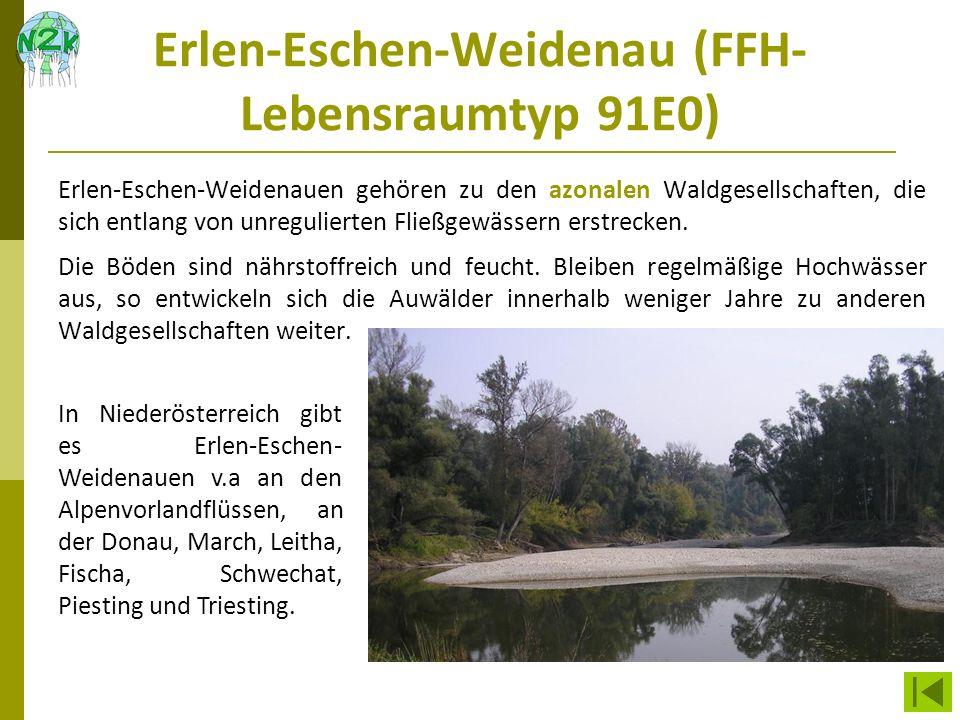 Erlen-Eschen-Weidenau (FFH-Lebensraumtyp 91E0)