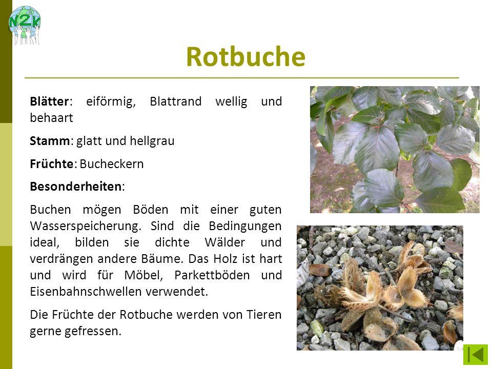 Rotbuche Blätter: eiförmig, Blattrand wellig und behaart