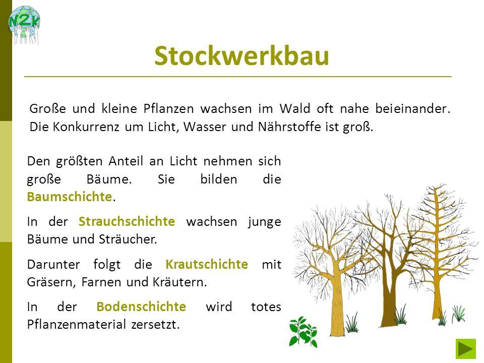 Stockwerkbau Große und kleine Pflanzen wachsen im Wald oft nahe beieinander. Die Konkurrenz um Licht, Wasser und Nährstoffe ist groß.