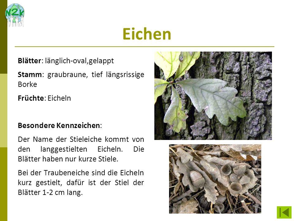 Eichen Blätter: länglich-oval,gelappt