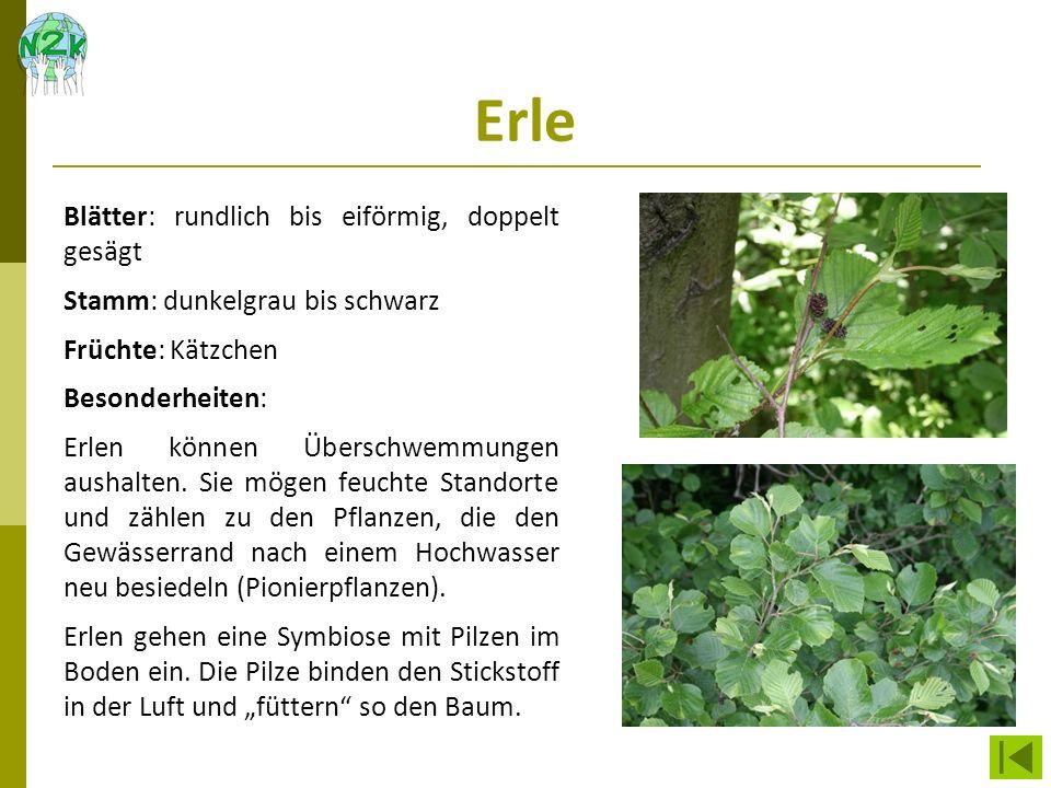 Erle Blätter: rundlich bis eiförmig, doppelt gesägt