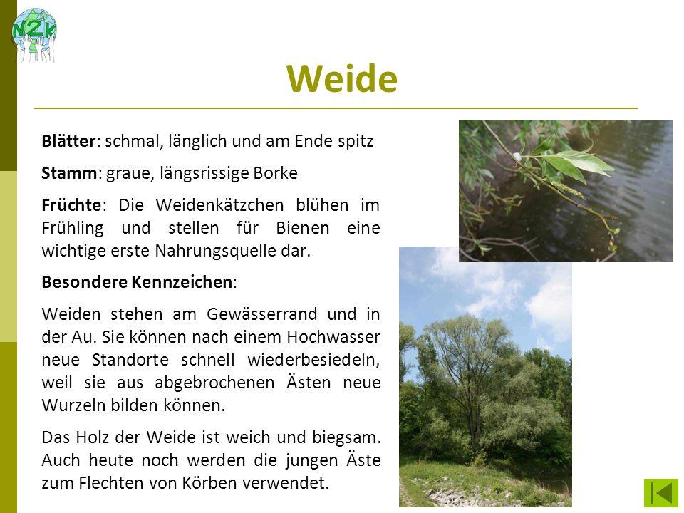 Weide Blätter: schmal, länglich und am Ende spitz