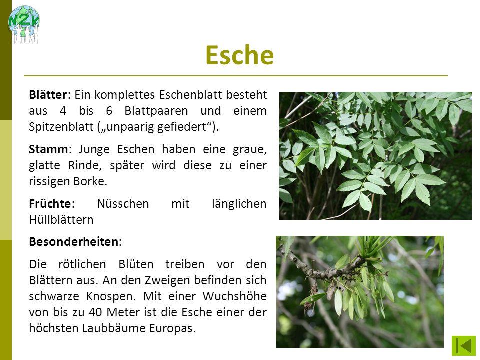 """Esche Blätter: Ein komplettes Eschenblatt besteht aus 4 bis 6 Blattpaaren und einem Spitzenblatt (""""unpaarig gefiedert )."""