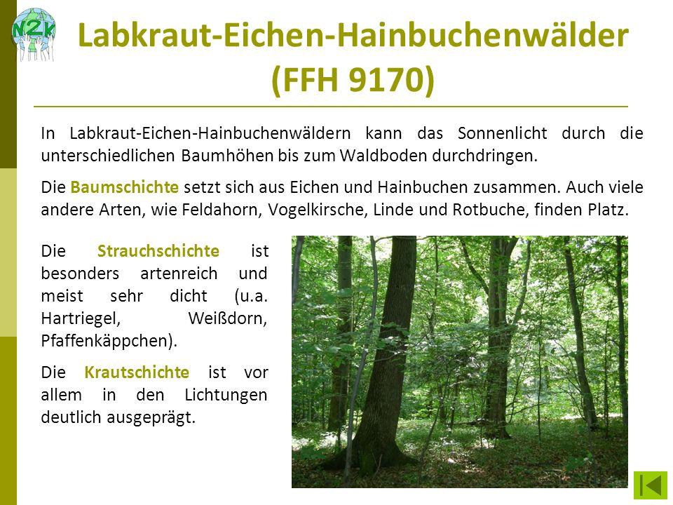Labkraut-Eichen-Hainbuchenwälder (FFH 9170)
