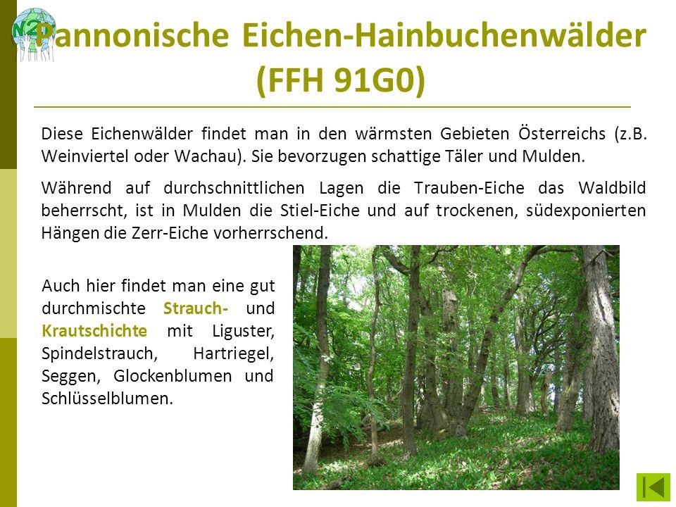 Pannonische Eichen-Hainbuchenwälder (FFH 91G0)