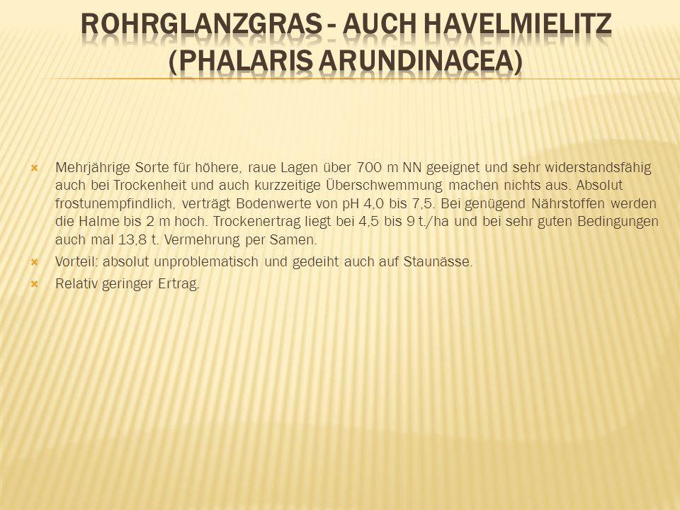 Rohrglanzgras - auch Havelmielitz (Phalaris arundinacea)