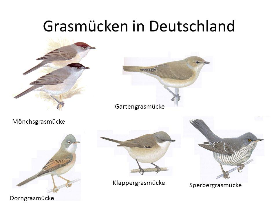 Grasmücken in Deutschland