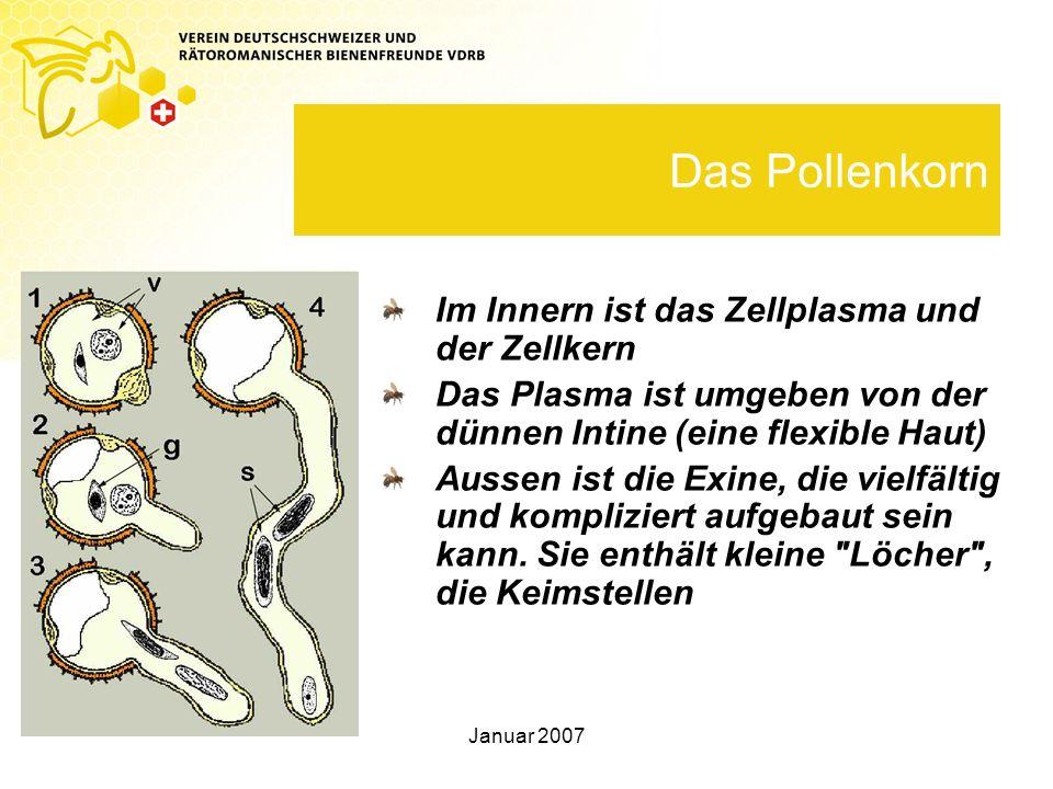 Das Pollenkorn Im Innern ist das Zellplasma und der Zellkern
