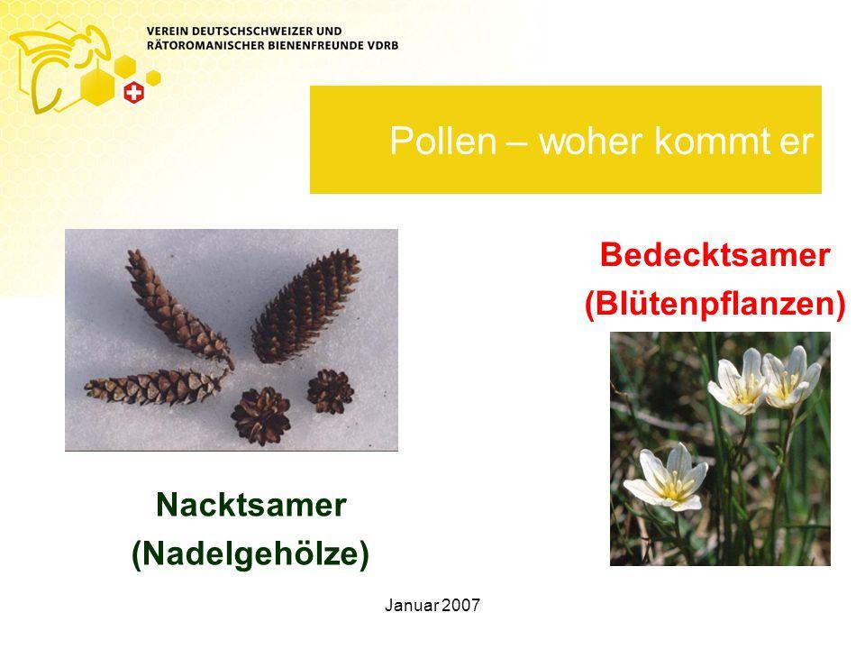 Pollen – woher kommt er Bedecktsamer (Blütenpflanzen) Nacktsamer