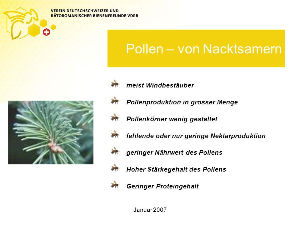 Pollen – von Nacktsamern