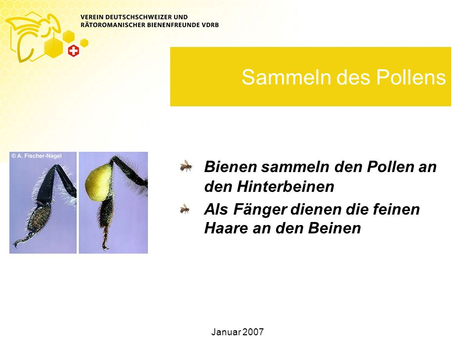 Sammeln des Pollens Bienen sammeln den Pollen an den Hinterbeinen