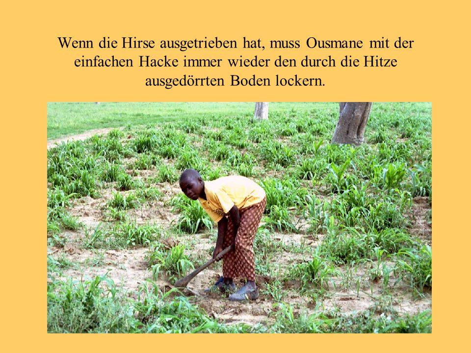 Wenn die Hirse ausgetrieben hat, muss Ousmane mit der einfachen Hacke immer wieder den durch die Hitze ausgedörrten Boden lockern.