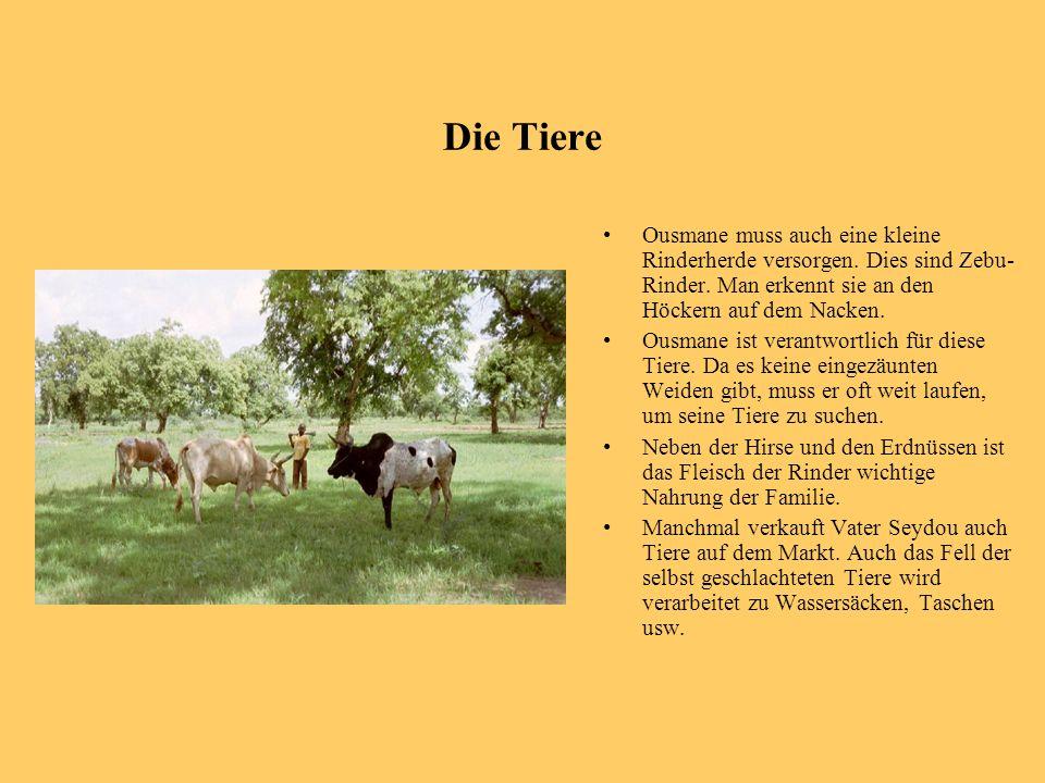 Die Tiere Ousmane muss auch eine kleine Rinderherde versorgen. Dies sind Zebu-Rinder. Man erkennt sie an den Höckern auf dem Nacken.