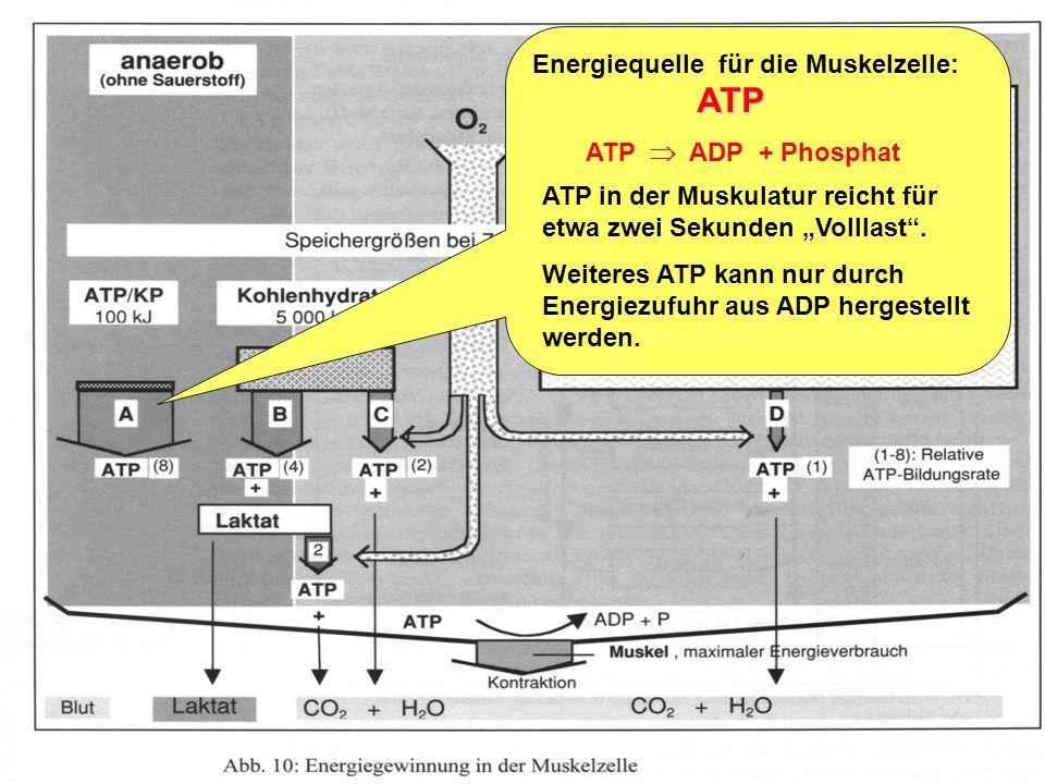 ATP Energiequelle für die Muskelzelle: ATP  ADP + Phosphat