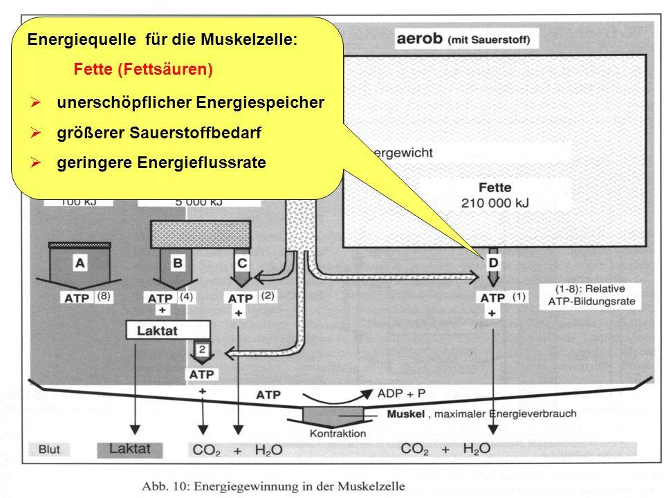 Energiequelle für die Muskelzelle: