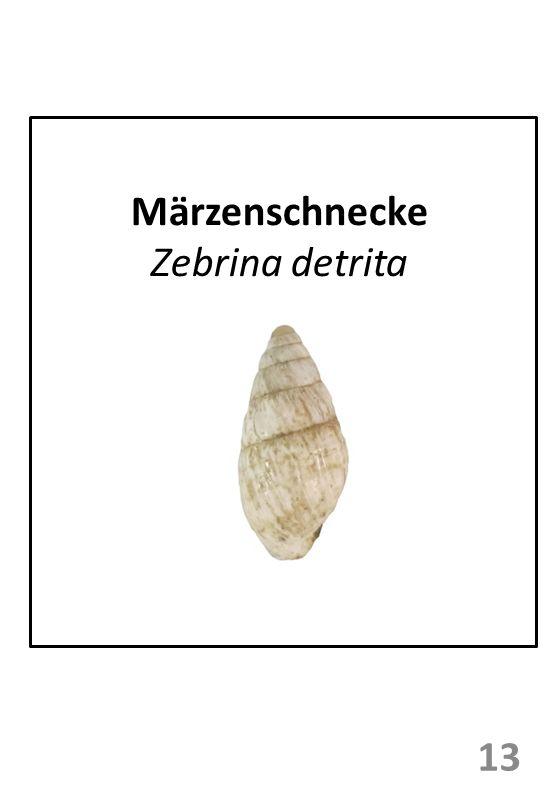 Märzenschnecke Zebrina detrita