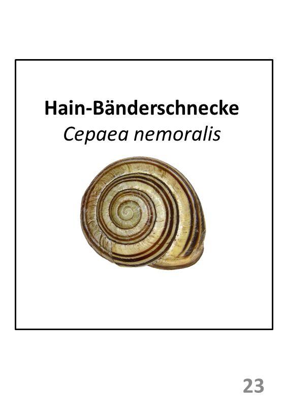 Hain-Bänderschnecke Cepaea nemoralis