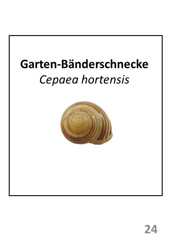 Garten-Bänderschnecke Cepaea hortensis