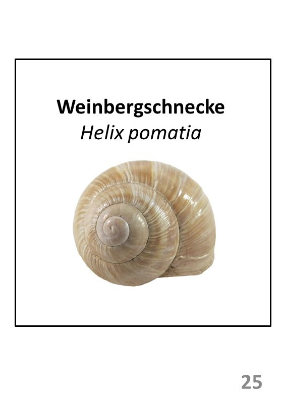 Weinbergschnecke Helix pomatia