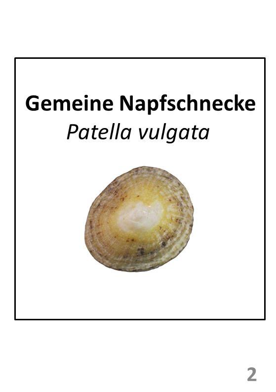Gemeine Napfschnecke Patella vulgata