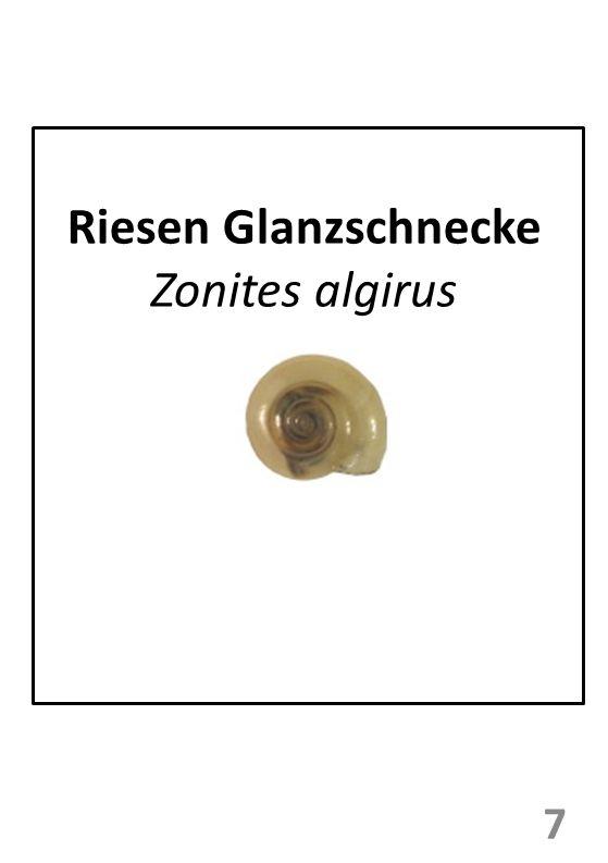 Riesen Glanzschnecke Zonites algirus
