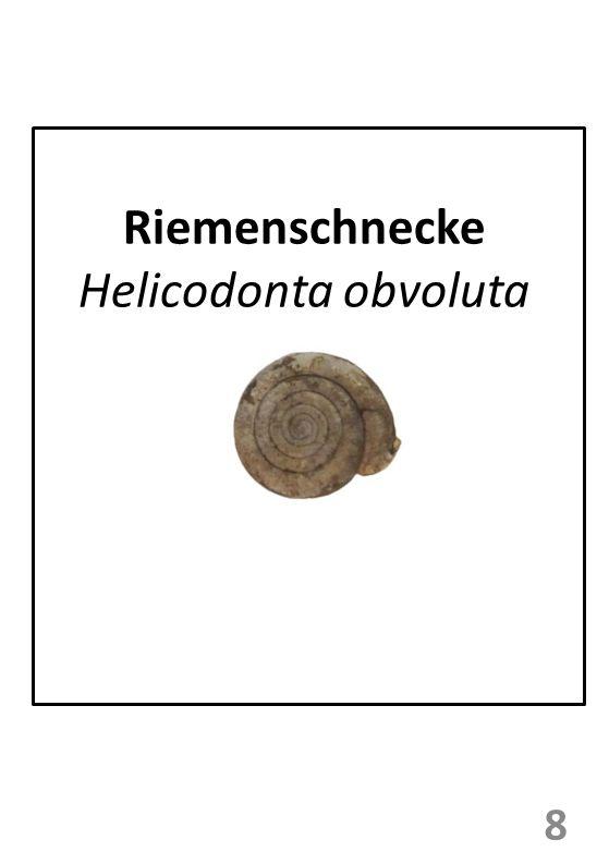 Riemenschnecke Helicodonta obvoluta