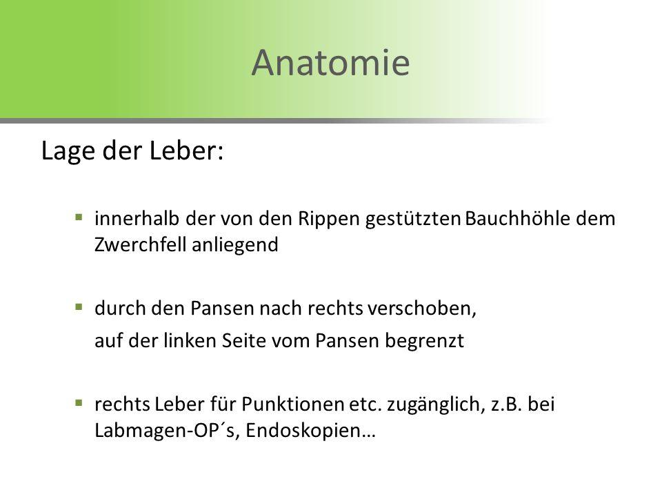 Anatomie Lage der Leber: