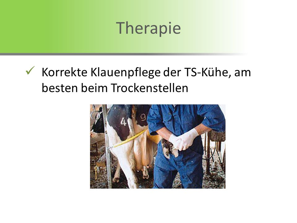 Therapie Korrekte Klauenpflege der TS-Kühe, am besten beim Trockenstellen