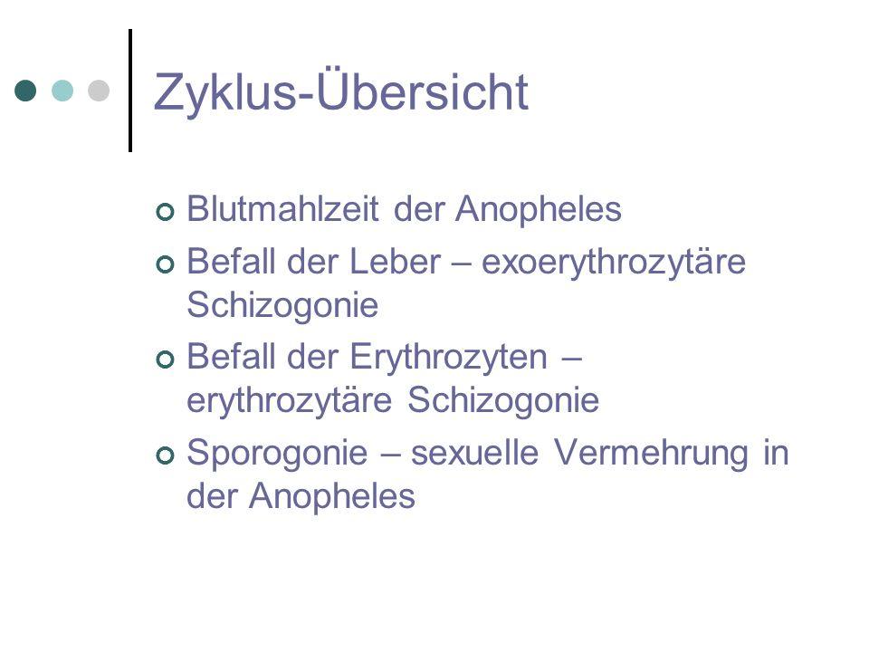 Zyklus-Übersicht Blutmahlzeit der Anopheles
