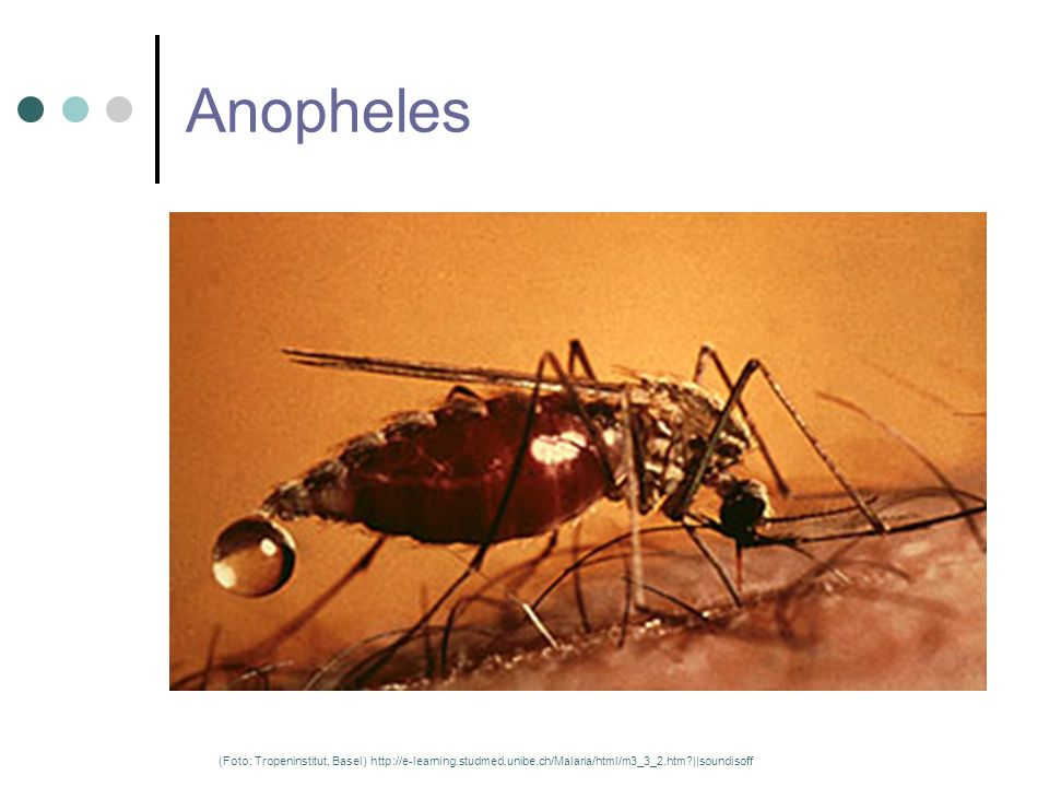 Anopheles (Foto: Tropeninstitut, Basel) http://e-learning.studmed.unibe.ch/Malaria/html/m3_3_2.htm ||soundisoff.