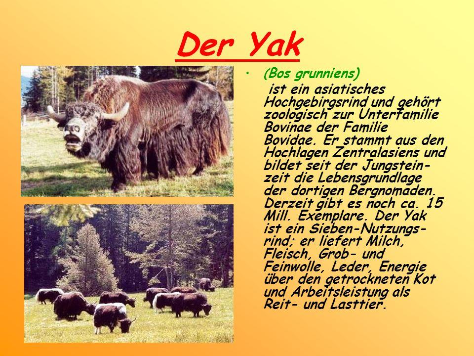Der Yak (Bos grunniens)