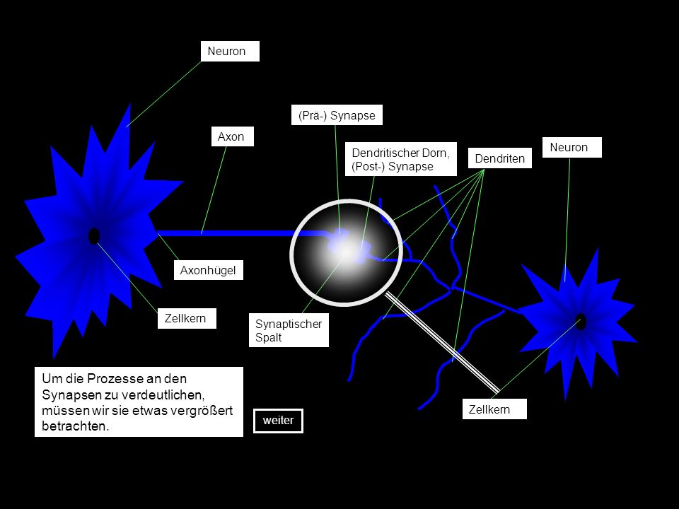 Neuron (Prä-) Synapse. Axon. Neuron. Dendritischer Dorn, (Post-) Synapse. Dendriten. Axonhügel.
