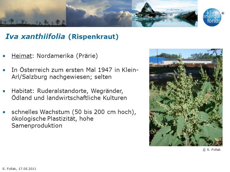 Iva xanthiifolia (Rispenkraut)
