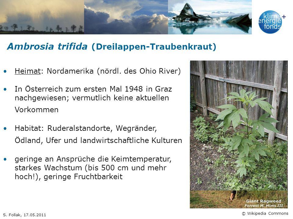 Ambrosia trifida (Dreilappen-Traubenkraut)