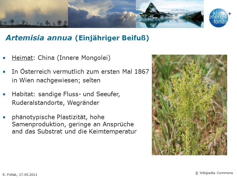 Artemisia annua (Einjähriger Beifuß)
