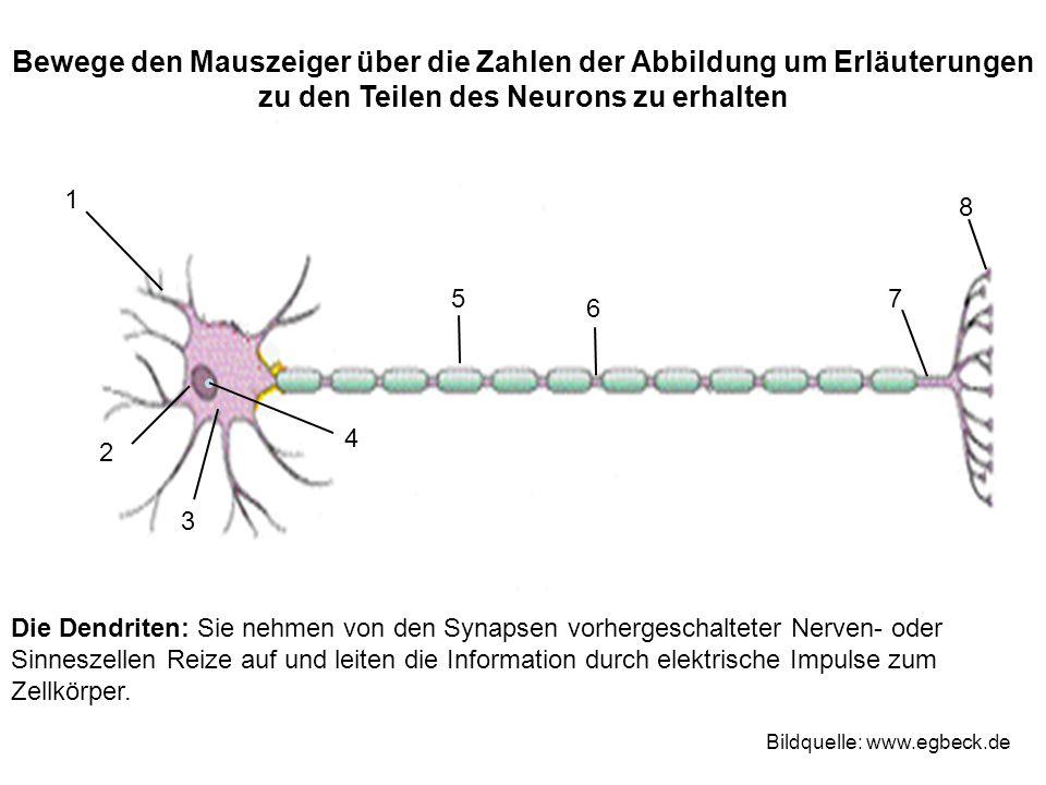 Die Dendriten: Sie nehmen von den Synapsen vorhergeschalteter Nerven- oder Sinneszellen Reize auf und leiten die Information durch elektrische Impulse zum Zellkörper.