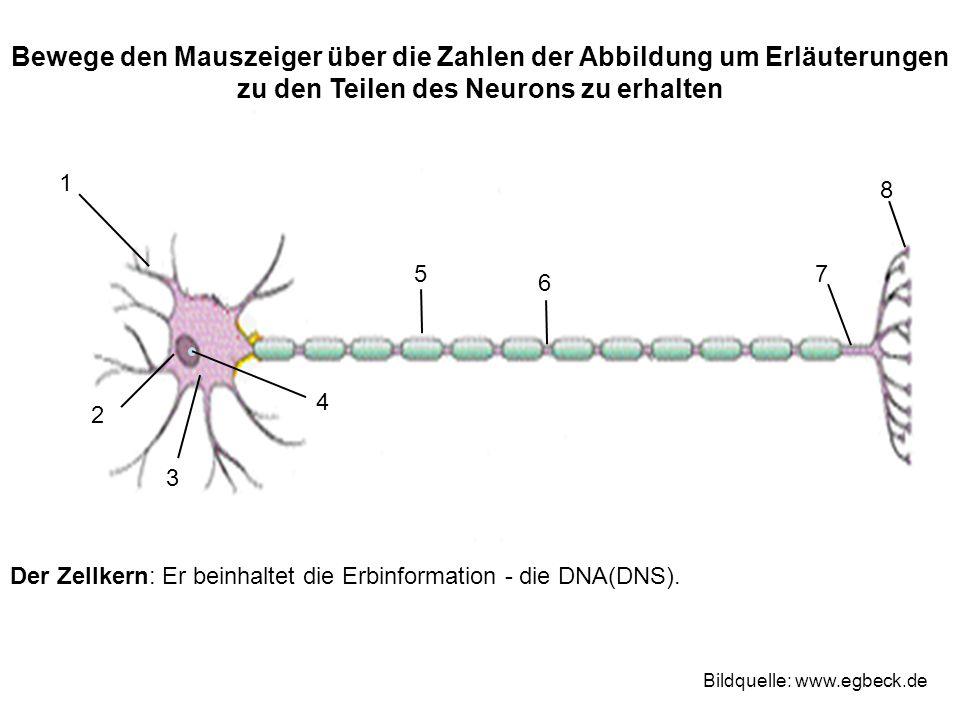 Der Zellkern: Er beinhaltet die Erbinformation - die DNA(DNS).