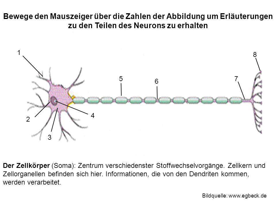 Der Zellkörper (Soma): Zentrum verschiedenster Stoffwechselvorgänge