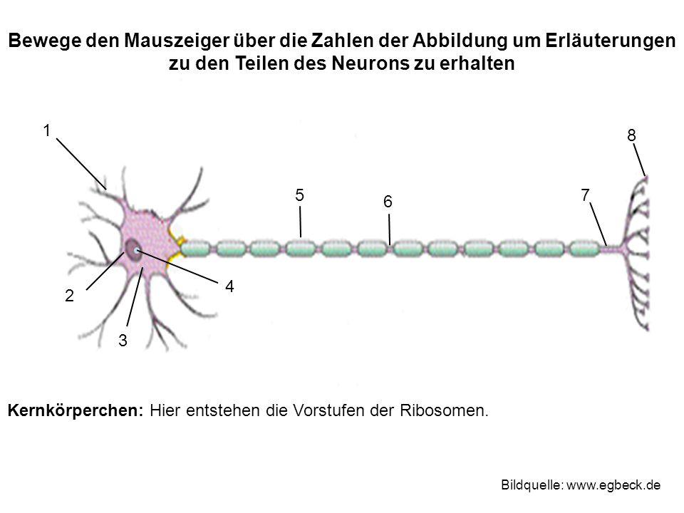 Kernkörperchen: Hier entstehen die Vorstufen der Ribosomen.