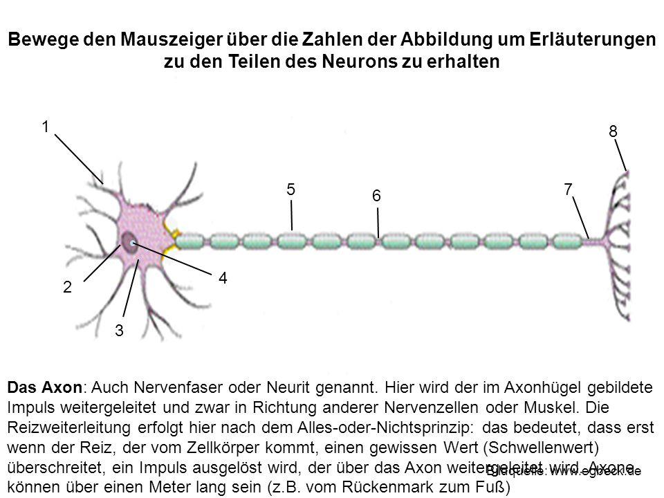 Das Axon: Auch Nervenfaser oder Neurit genannt