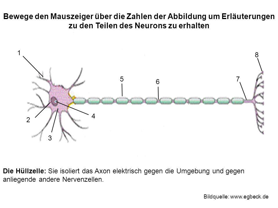 Die Hüllzelle: Sie isoliert das Axon elektrisch gegen die Umgebung und gegen anliegende andere Nervenzellen.