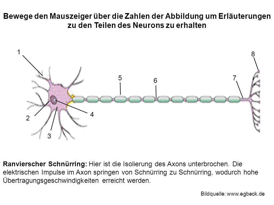 Ranvierscher Schnürring: Hier ist die Isolierung des Axons unterbrochen.