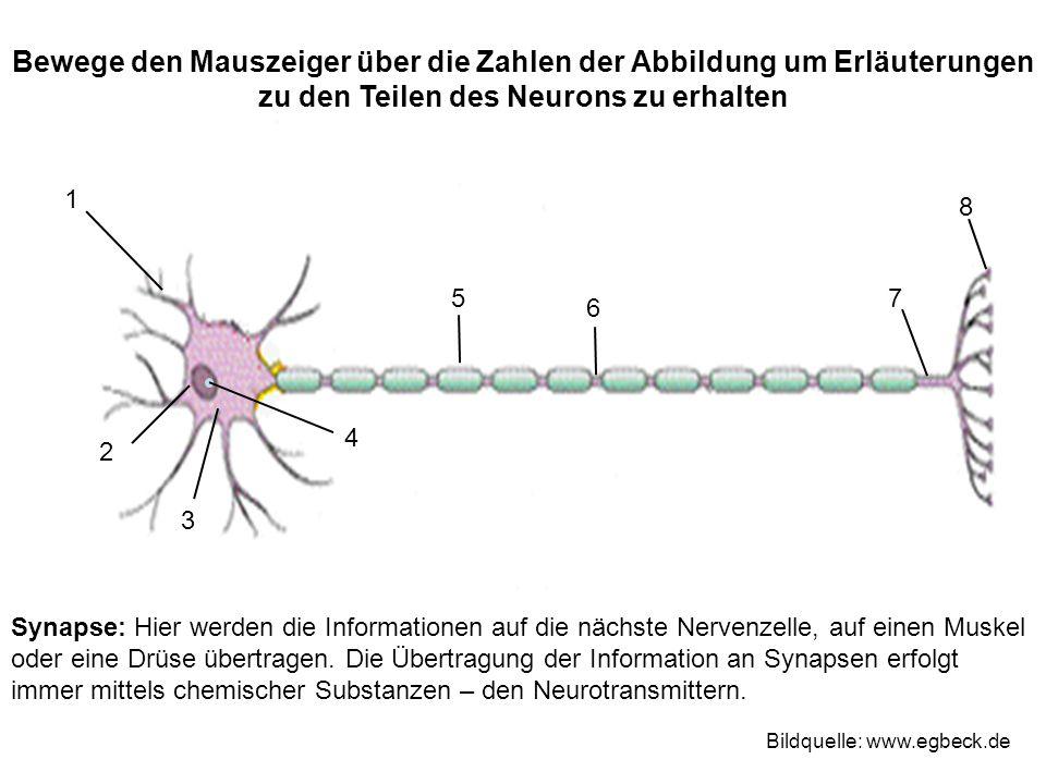 Synapse: Hier werden die Informationen auf die nächste Nervenzelle, auf einen Muskel oder eine Drüse übertragen.