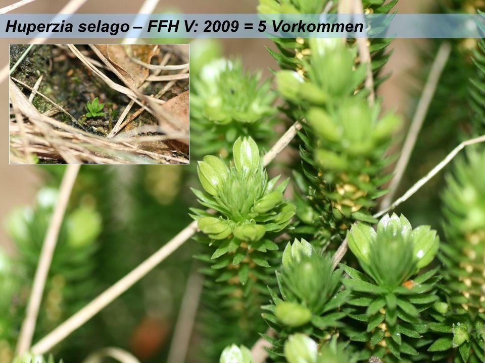 Huperzia selago – FFH V: 2009 = 5 Vorkommen