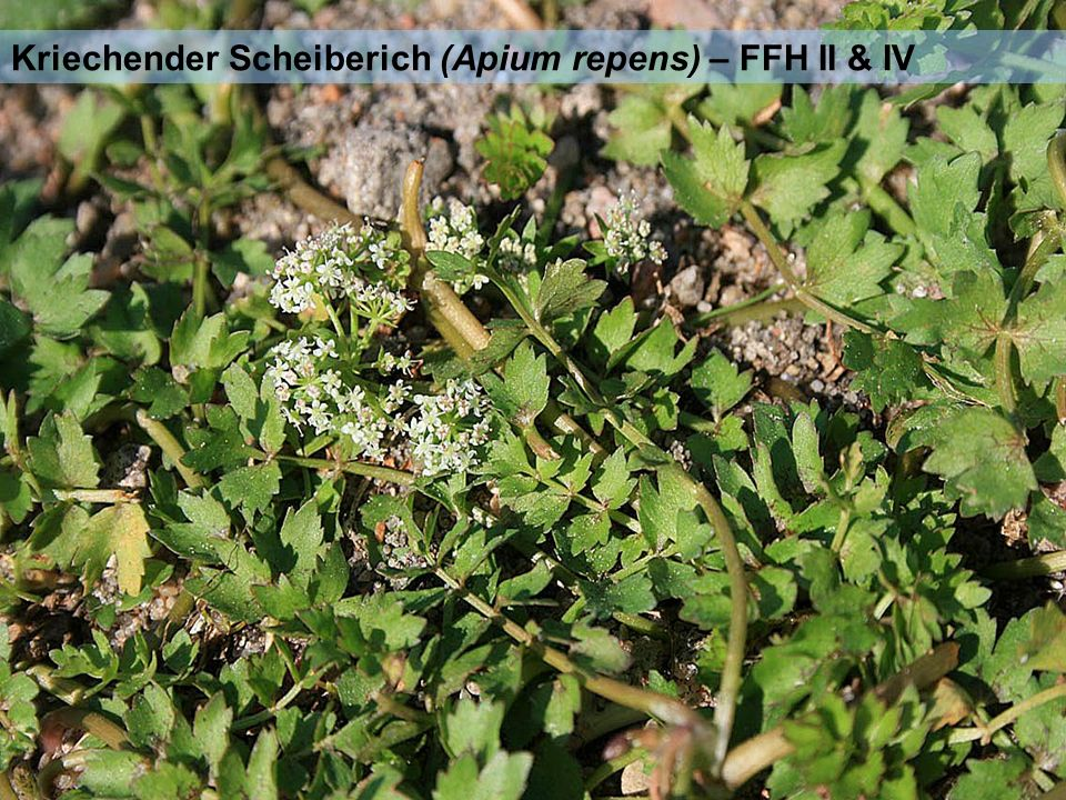 Kriechender Scheiberich (Apium repens) – FFH II & IV